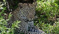 Young male leopard lurks in the foliage, Masai Mara, Kenya.