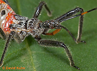 "0715-07xx  Assassin bug/Wheel bug ""Nymph"" - Arilus cristatus - © David Kuhn/Dwight Kuhn Photography"