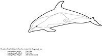 Hourglass dolphin, Lagenorhynchus cruciger, illustration by the artist Wyland