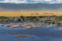 Tanzania. Ngorongoro Crater, Hippos in the Hippopotamus Pool, Zebra in the Distance.