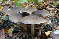 Rehbrauner Dachpilz, Hirschbrauner Dachpilz, Sammelart, Pluteus cervinus s. l., Pluteus atricapillus, deer shield, deer mushroom, fawn mushroom