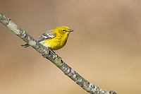 Pine Warbler (Setophaga pinus pinus), male in breeding plumage on its breeding territory at Connetquot River State Park Preserve, Oakdale, Long Island, New York.