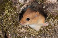 Haselmaus in einer Baumhöhle, Astloch, Portrait, Porträt, Hasel-Maus, Muscardinus avellanarius, hazel dormouse, common dormouse, Schläfer, Schlafmäuse, Bilche, Bilch, Gliridae, dormice
