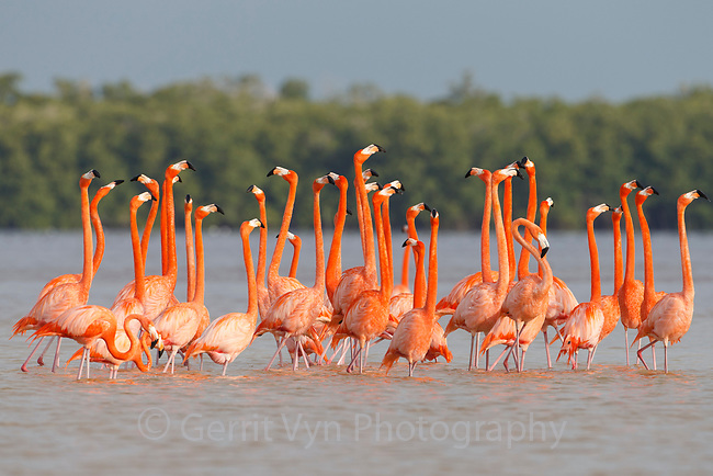 American Flamingos (Phoenicopterus ruber) perform elaborate group courtship<br /> displays like marching that help individuals<br /> assess and select potential partners for breeding. Celestun Biosphere Reserve, Yucutan, Mexico. February.