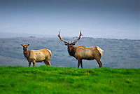 Male and female thule elk standing in the green grass of Pt. Reyes National Seashore