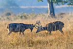 Sparring hard-ground swamp deer or barasingha (Rucervus duvaucelii). Kanha National Park, Madhya Pradesh, Central India.