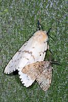 Schwammspinner, Männchen und Weibchen, Paarung, Kopulation, Kopula, Schwamm-Spinner, Lymantria dispar, gipsy moth, Gypsy Moth, male, female, copulation, pairing, le Bombyx disparate, Trägspinner, Lymantriidae