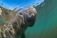 Florida manatee, Trichechus manatus latirostris, a subspecies of West Indian manatee, Trichechus manatus, underwater with snorkeler, Homosassa Springs, Florida, USA