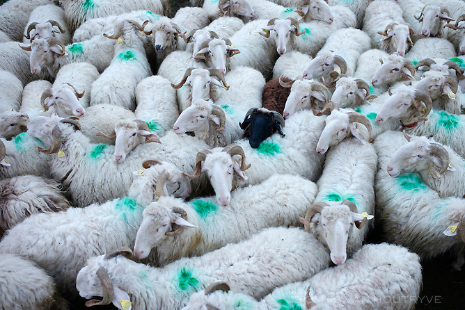 A dark sheep is seen among many white ones in the Vallée d'Ossau, in the Pyrenees in France on Oct. 3, 2014.