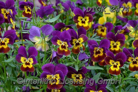 Gisela, FLOWERS, BLUMEN, FLORES, photos+++++,DTGK2474,#f#, EVERYDAY