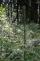 GERMANY, lower saxonia, Forest / DEUTSCHLAND, Niedersachsen, Wald