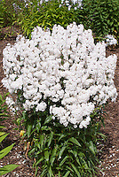 Phlox maculata 'Blush White' in bloom showingplant habit