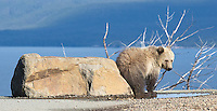 A young grizzly bear scratches its bum on a rock.