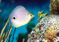 A four Eyed Butterfly fish in the Caribbean
