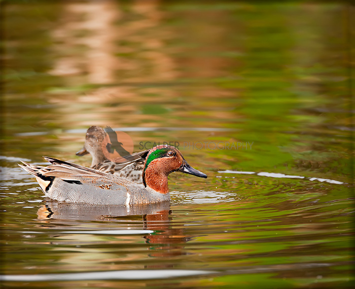 Male Green-winged Teal in breeding colors with female in background