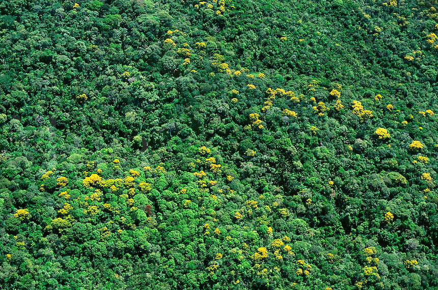 Aerial view of trees with yellow flowers in rainforest on slopes of Mount Yavi, Guyana Highlands, Venezuela