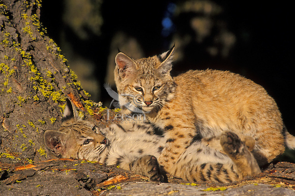 Two young Bobcat kittens play at base of tree.  Western U.S.