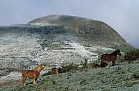 Europe/France/Auvergne/63/Puy-de-Dôme/Parc Régional des Volcans/Les Monts Dores: Environs de la Croix Morand et chevaux en pature