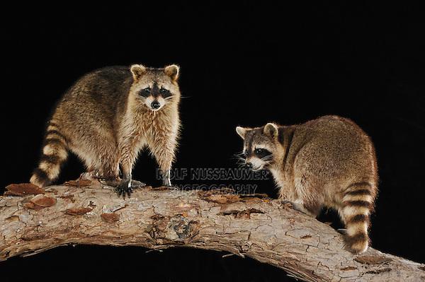 Northern Raccoon (Procyon lotor), adults at night on log, Refugio, Coastel Bend, Texas, USA