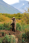 An Alaskan grizzly bear, Ursus arctos horribilis, stands on his hind legs to get a better view.