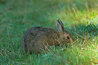 Varying Hare or Snowshoe Hare (Lepus americanus).  Pacific Northwest.  June.