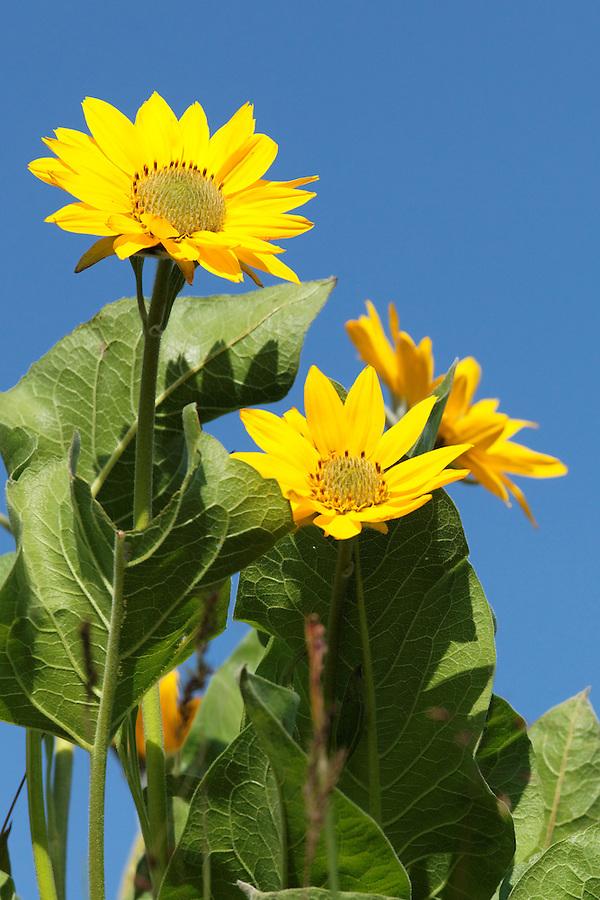 Arrowleaf balsamroot against blue sky, Tom McCall Wildflower Preserve, Rowena, Oregon, USA