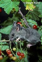 MU50-064z  Deer Mouse - immature young eating berries - Peromyscus maniculatus