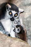 ring-tailed lemur with one month old baby, vertical