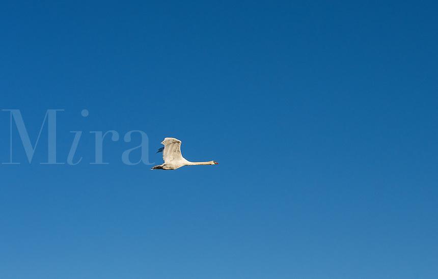 A wild goose in flight.