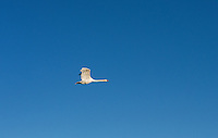 A wild goose in flight.