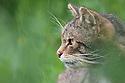 Scottish wild cat {Felis sylvestris grampia} surronded by grass, captive, UK