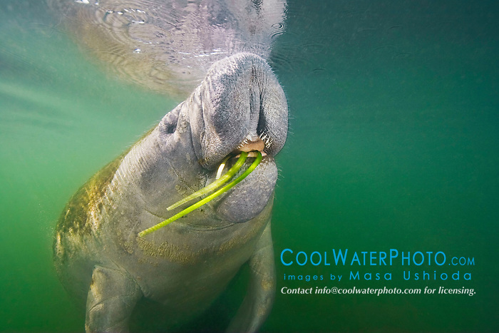 Florida manatee, breathing as it feeds on seagrass, Trichechus manatus latirostris, note tongue and coarse hair or wiskers, endangered, a subspecies of the West Indian manatee, Kings Bay, Crystal River, Florida
