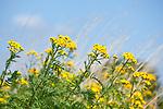 Europa, DEU, Deutschland, Nordrhein-Westfalen, Niederrhein, Sommer, Gelbe Blueten, Natur, Umwelt, Pflanzen, Pflanzenkunde, Botanik, Biologie, <br /> <br /> [Fuer die Nutzung gelten die jeweils gueltigen Allgemeinen Liefer-und Geschaeftsbedingungen. Nutzung nur gegen Verwendungsmeldung und Nachweis. Download der AGB unter http://www.image-box.com oder werden auf Anfrage zugesendet. Freigabe ist vorher erforderlich. Jede Nutzung des Fotos ist honorarpflichtig gemaess derzeit gueltiger MFM Liste - Kontakt, Uwe Schmid-Fotografie, Duisburg, Tel. (+49).2065.677997, ..archiv@image-box.com, www.image-box.com]