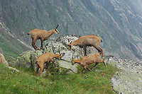 Chamois (Rupicapra rupicapra), group licking minerals from rock, Grimsel, Bern, Switzerland