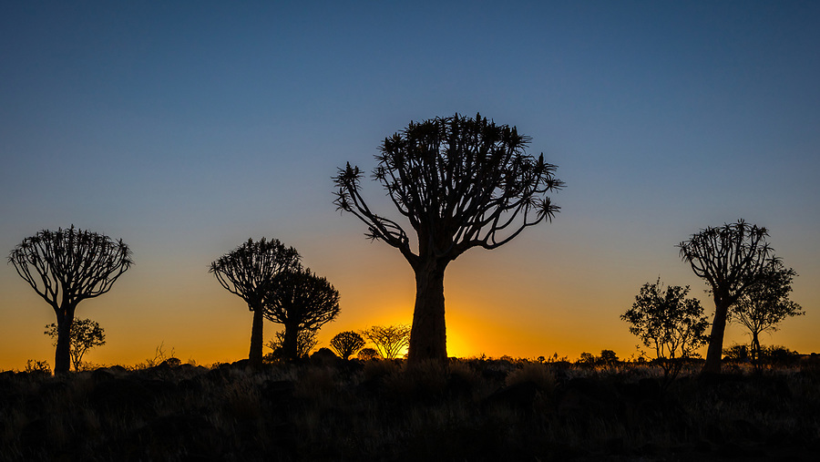 The Sun Sets Behind A Group Of Quiver Trees.