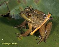 FR23-016a  Bullfrog - deformed frog with extra leg - Lithobates catesbeiana, formerly Rana catesbeiana