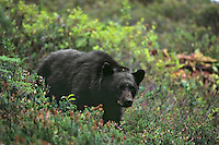 Black Bear (Ursus americanus) in subalpine meadow--looking for blueberries/huckleberries.  Pacific Northwest.  Sept.