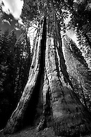 Boole tree. Kings Canyon National Park, California