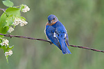 Male eastern bluebird preening while sitting on a old barbed-wire fence
