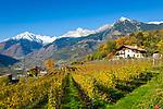 Italien, Suedtirol, Meran: Weingut oberhalb Merans, im Hintergrund die Texelgruppe | Italy, South Tyrol (Alto Adige-Trentino), Merano: Wine-Growing Estate above Merano, at background Texel Group mountains