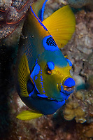 17 August 2005: A Queen Angelfish (Holacanthus ciliaris) swims on the reef  at Captain Don's Reef off the coast of Bonaire, in the Netherland Antilles. Housing used was an Aquatica D100 with flat port. Lighting with single Ikelite 225s strobe, manual at 1/4 power setting...Mandatory Photo Credit: Ed Wolfstein Photo
