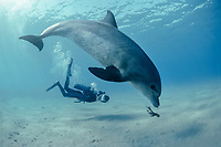 Diver photographing Bottlenose Dolphin, Tursiops truncatus, chasing Reef Octopus near ocean floor, Nuweiba, Egypt, Red Sea, MR