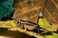 Heimchen, Acheta domesticus, Acheta domestica, Gryllulus domesticus, House cricket, Grille, Grillen, Gryllidae, Cricket, Crickets
