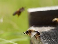 Like an athlete on the flight board, a drone, or male bee, takes off. The bee's peak speed is 50 kilometres/hour and the males flight is faster.<br /> Sur planche d'envol, tel un athlète, un faux-bourdon, le mâle des abeilles prend son envol. La vitesse de pointe de l'abeille est de 50 km/h et les males ont un vol plus rapide.
