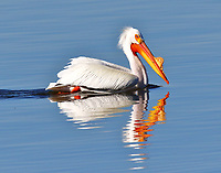 Pelicans and Allies