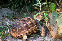 481158044 wild texas tortoise gopherus berlandieri feeds on the flower pods of an opuntia plant in the rio grande valley south texas