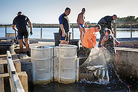 The fish is collected in large buckets before being transported to the warehouse for the extraction of the eggs - Cabras, Sardinia.