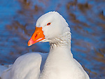 White snow goose portrait.