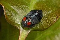 Mönchszikade, Mönchzikade, Penthimia nigra, leafhopper