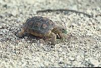 A small Desert Tortoise feeds on the desert floor in southern Arizona.